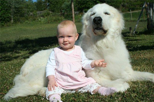 Пиренеец с маленькой девочкой