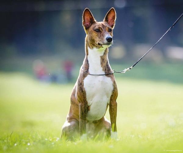 Собака сидит на поводке