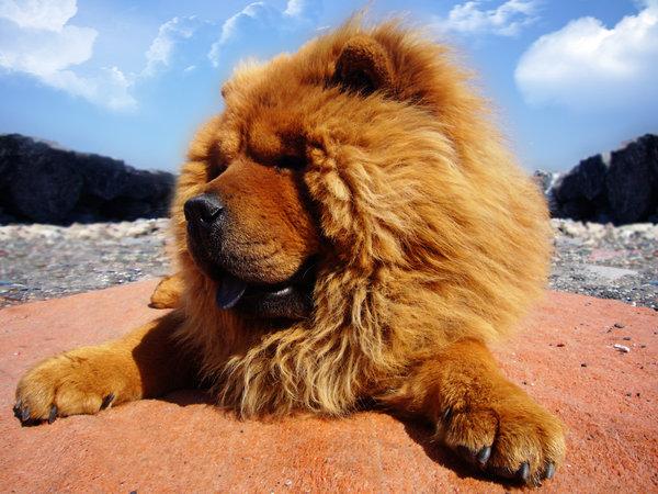 Миниатюрный лев Чау-Чау