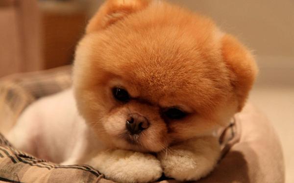 Грустный щенок померанского шпица