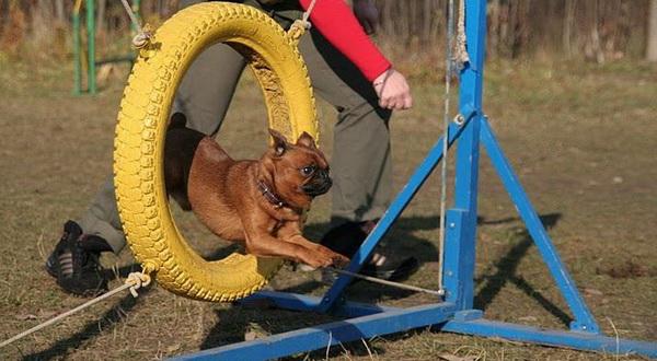 Собака прыгает через кольцо