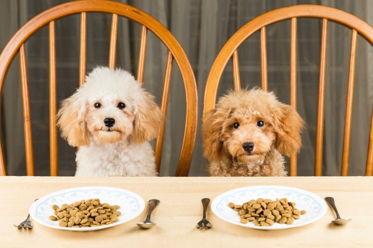 Два пуделя сидят за столом
