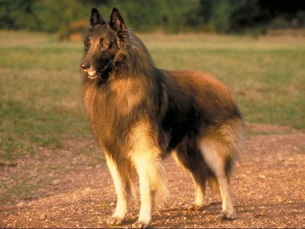 Длинношерстная овчарка из Бельгии