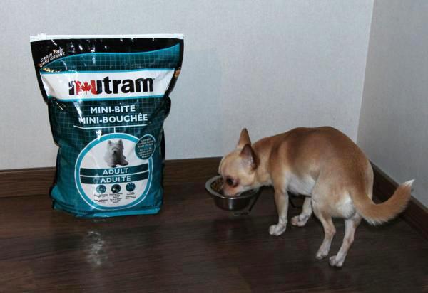 Маленькая собачка ест корм Nutram