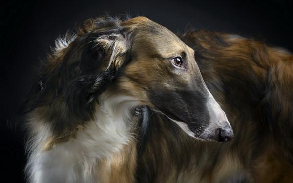 Красивый взгляд собаки
