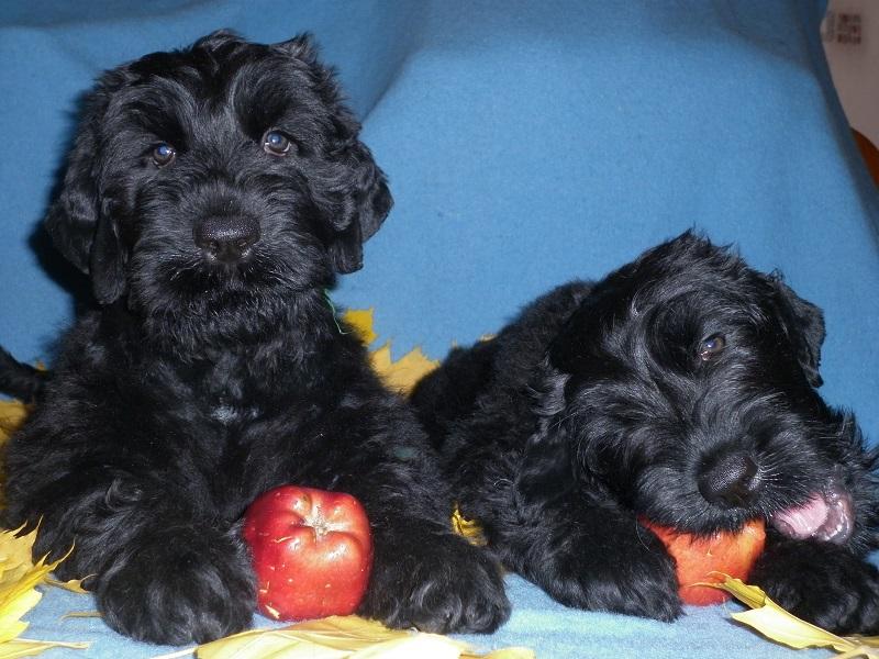 Щенки черного терьера грызут яблоки