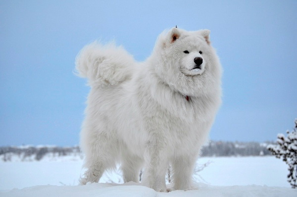Гордый снежный пес