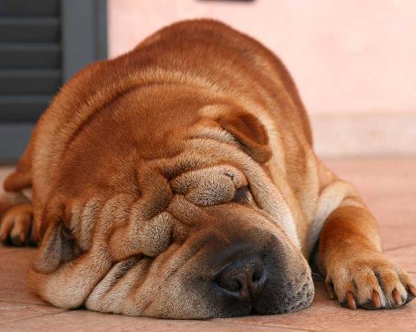 Взрослый Шарпей лежит на полу