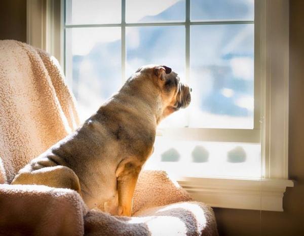 Шарпей смотрит в окно