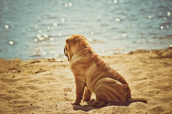Собака Шарпей сидит на песке