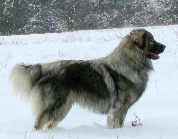 Шикарный шарпланинский пес