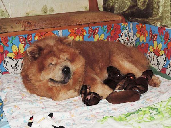 Чау-Чау кормит щенков