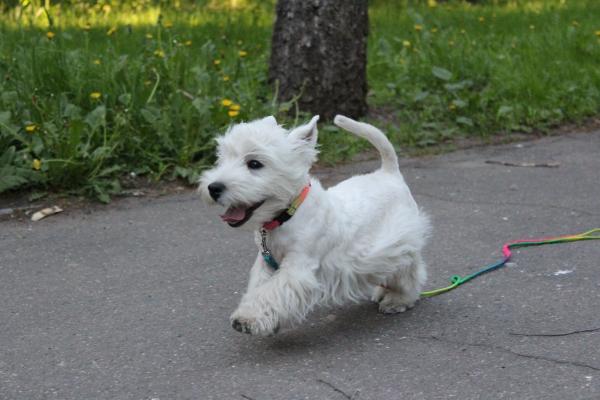 Маленький щенок гуляет