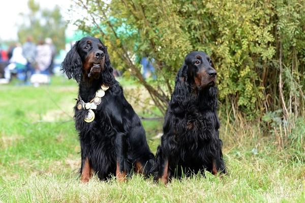 Красивая пара шотландских сеттеров на траве