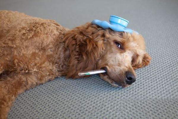 Собака и термометр с грелкой