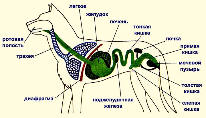 Анатомия выделительной системы собаки
