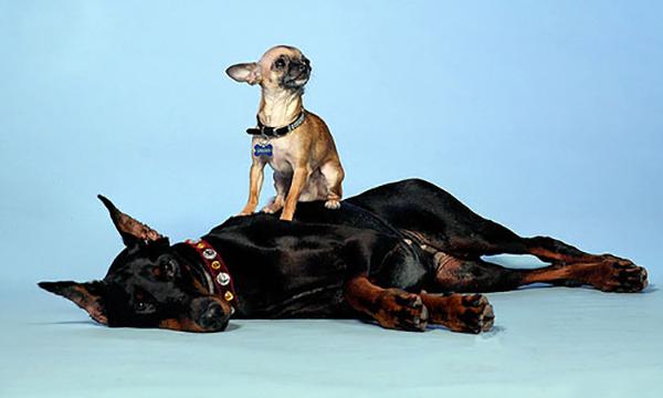 Маленький пес стоит на большой собаке