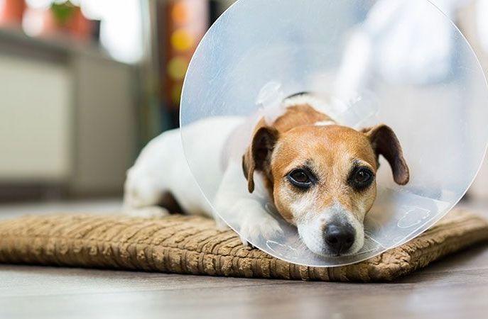 Собачка в медицинском колпаке