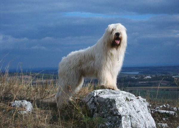 Белая овчарка на фоне степи