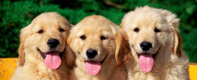 Три довольные жизнью собаки