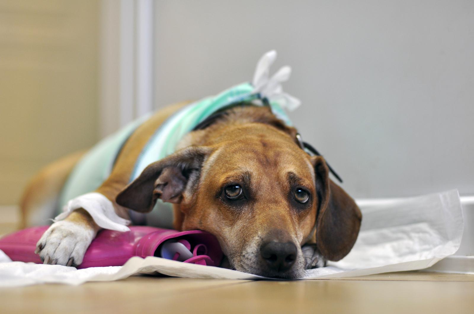 Больная собака с грустным взглядом