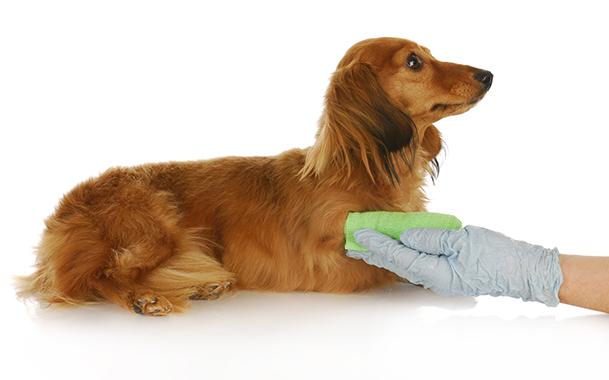 Собака в спокойном положении дожидается, когда ее оботрут
