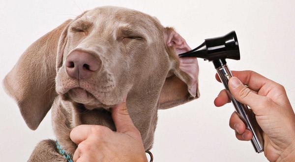 Обследование уха у собаки