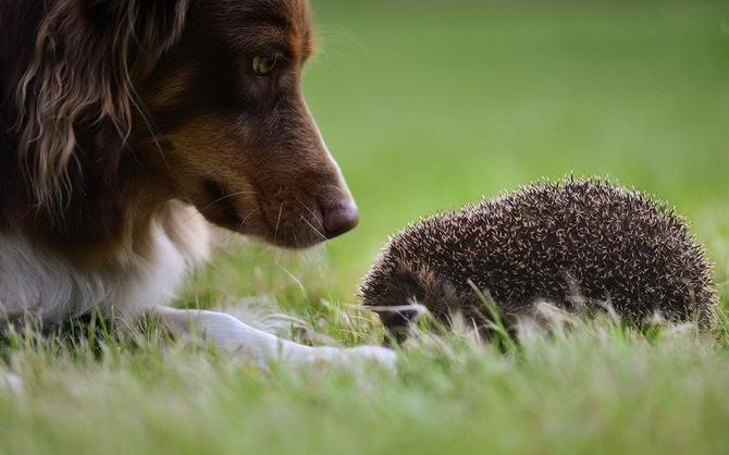 Собака смотрит на ежа
