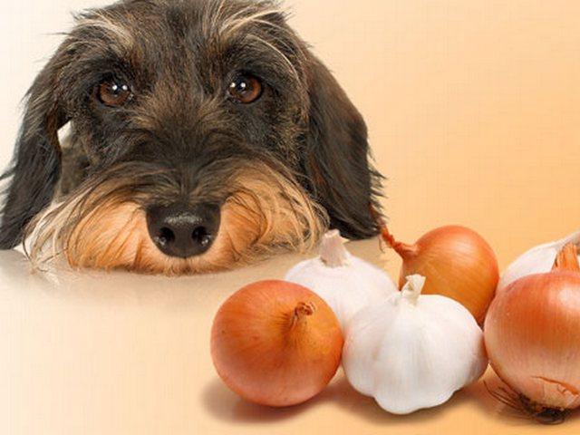 Собака рядом с луком и чесноком