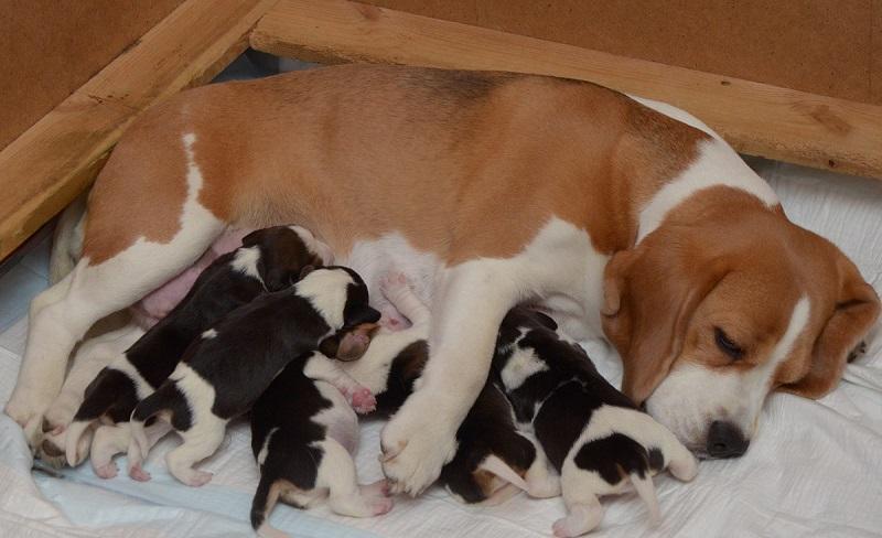 Собака и маленькие щенки