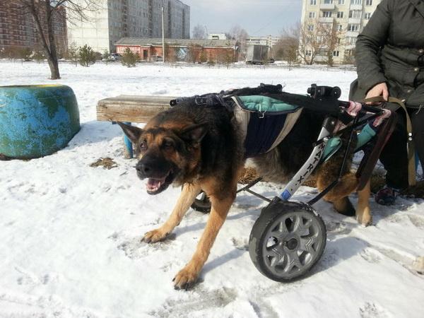 Собака с коляской