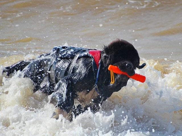 Собака-спасатель в воде