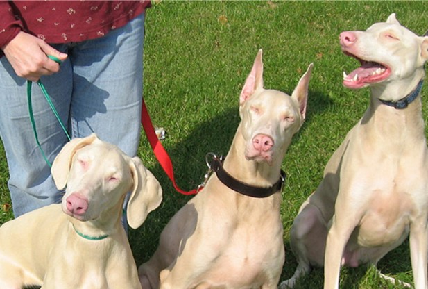 Три собаки-альбиноса