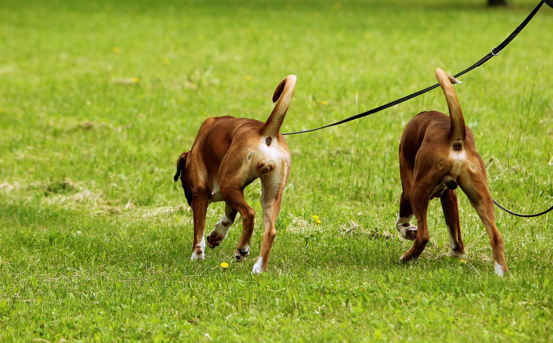Пара собак на прогулке