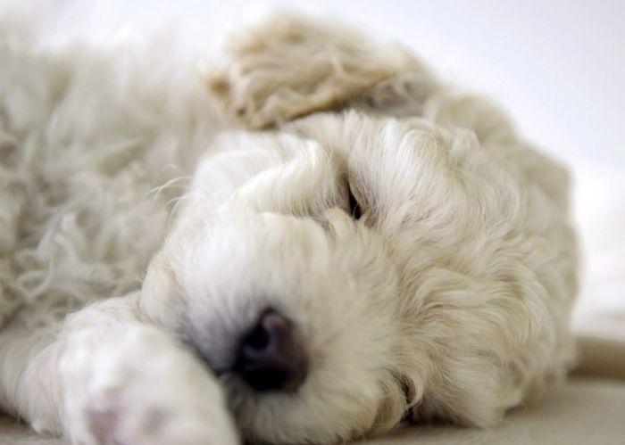 Спящий белый пудель