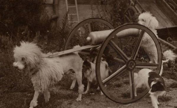 Старое фото водяных собачек