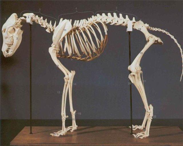 Анатомическое строение собаки