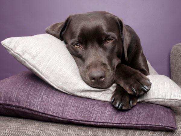 Грустная собака лежит на подушке