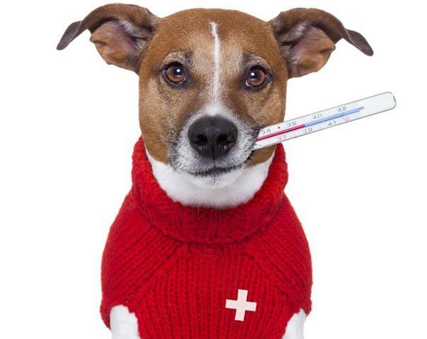 Как понять когда у собаки температура