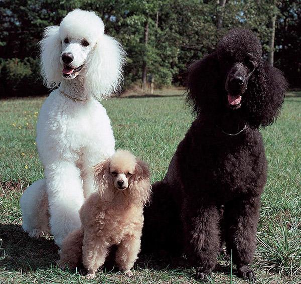Три пуделя разных размеров сидят в траве