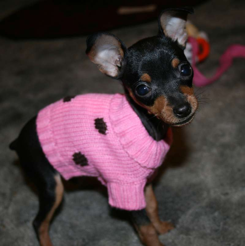 Той терьер в розовом свитере