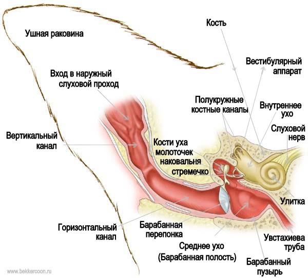 Анатомическое строение уха питомца