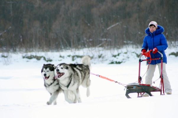 Два аляскинских маламута везут женщину на санях