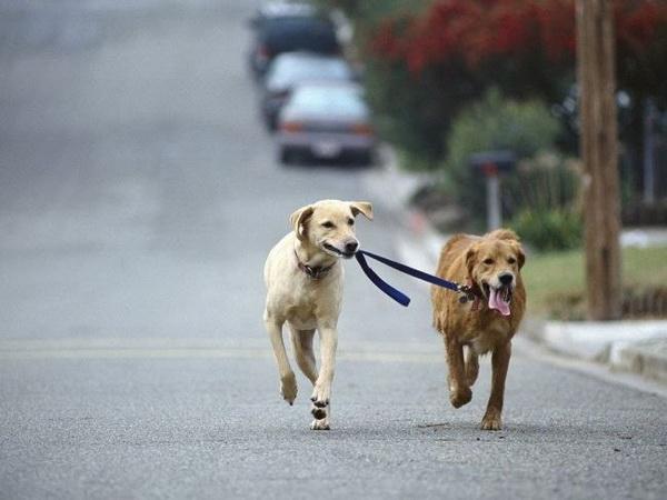 Два пса гуляют без хозяина