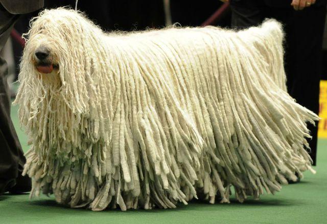 Лохматая венгерская овчарка