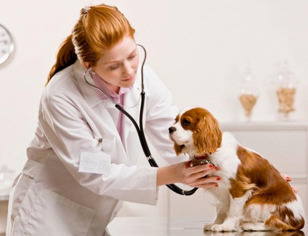 Собаку осматривает ветеринар