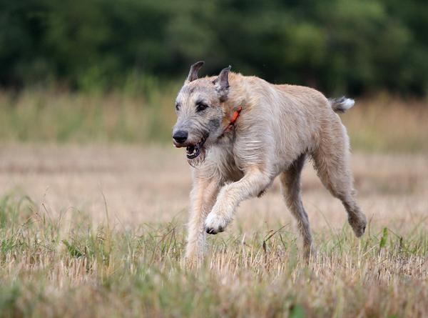 Ирландский волкодав бежит