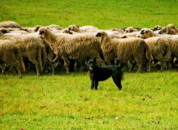Хорватская овчарка и овцы