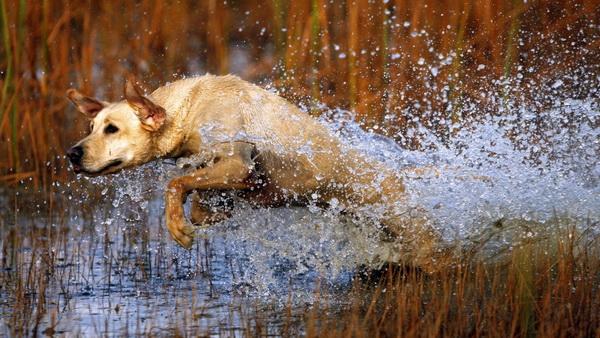 Здоровая собака бежит