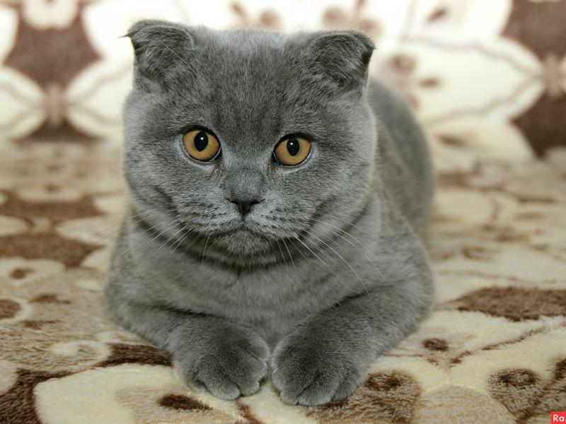 Картинки кошка британская вислоухая кошка фото